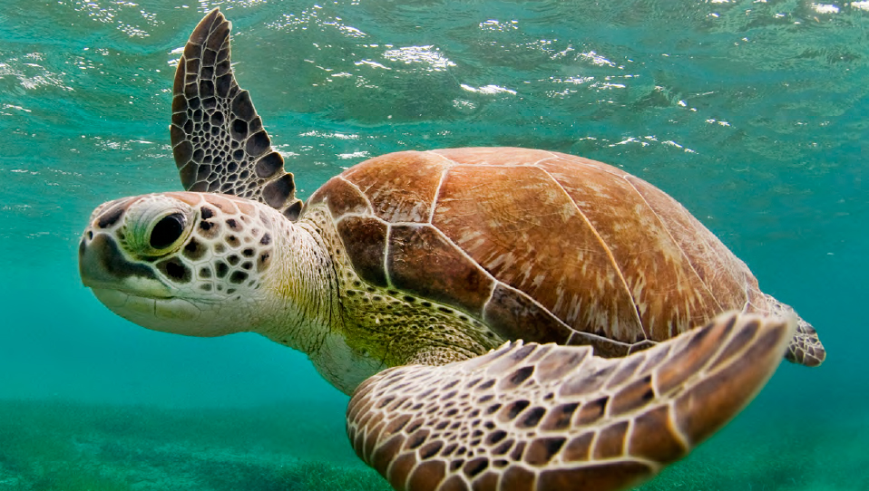 """""""Swimming Turtle"""" by Jay Fleming. Photograph. Copyright Jay Fleming 2017. Courtesy of the artist."""